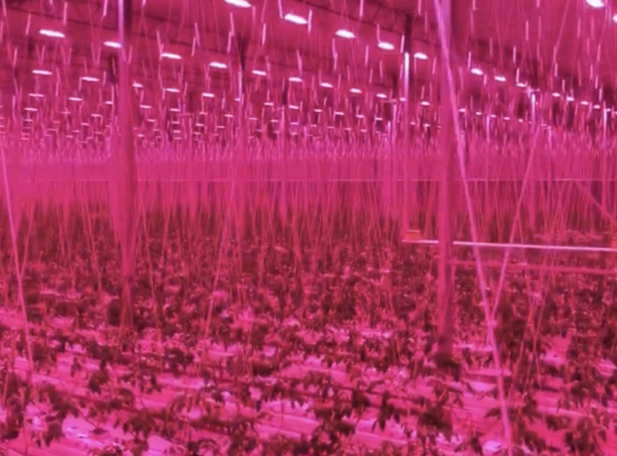 CambridgeHOK installs LED system to enable year-round tomato growing
